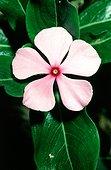 Pervenche de Madagascar utilisée contre le cancer La Réunion
