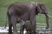 Femelle et éléphanteau d'Afrique Kenya