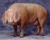 Porc blanc de l'Ouest Studio
