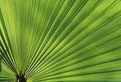 Feuille de palmier Jardin de la Pomme d'Ambre