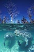 Manatee Crystal River Florida USA