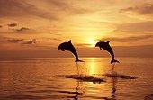 Bottlenose dolphins jumping Roatan Honduras