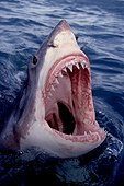 Great White Shark's head out of water South Africa