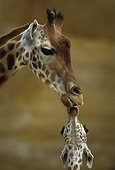 Girafe et son girafon
