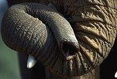 Eléphant d'Afrique Gros plan de la trompe Kenya