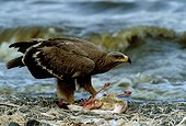 Aigle des steppes mangeant flamant nain Kenya ; Lac de Bogaria