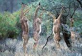 Gérénuks mangeant de l'acacia Kenya