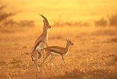 Accouplement de gazelles de Thomson Kenya