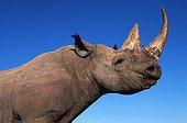 Black rhinoceros Africa