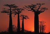 Baobabs at sunset Morondave Madagascar