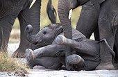 Eléphanteau d'Afrique couché Kenya