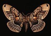 Brahmaéide chouette ; Collection Muséum National d'Histoire Naturelle de Paris. Envergure 13 cm. Inde