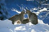 Couple de Lynx boréal dans la neige