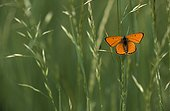 Large copper butterfly on grass