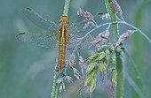 Dew-covered female red darter