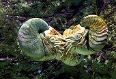 Emperor nautilus underwater