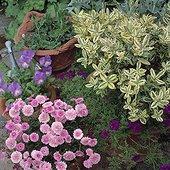 Plants in pots ; Chestnut Lodg Garden Irland