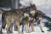 Meute de loups d'Europe dans la neige Europe