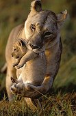 Lioness carrying cub in her jaws Masai Mara ; 5-week-old cub<br>BBC 1st prize