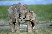 Eléphants d'Afrique jeune Kenya