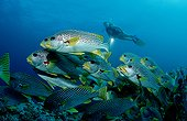 Yellowbanded sweetlips and diver Queensland