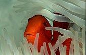 Spinecheek anemonefish Queensland