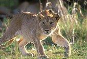 Lion cub lying in wait