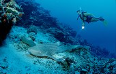 Zebra shark Phuket
