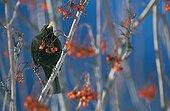 Male blackbird on branch