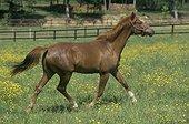 Cheval de selle au trot dans son enclos France ; robe marron