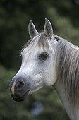 Portrait de cheval de selle blanc  France ; robe marron