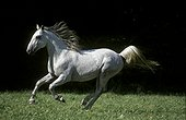 Lipizzan horse running in a meadow