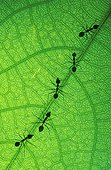 Weaver ants on leaf