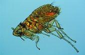 Mouse flea Zoom x50