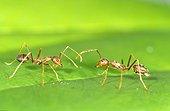 Weaver Ant. Singapore