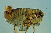 Human flea Zoom x50