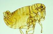 Human flea Zoom x30