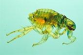 Cat flea Zoom x20