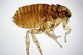 Cat flea Zoom x40