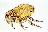 Rat flea Zoom x40