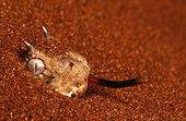 Horned Adder. South Africa