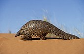 Capeb Pangolin going in Kalahari Gemsbok NP South Africa