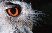 White-faced Scops-Owl. Sahara Africa