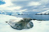 Weddell Seal on snow Antarctic Peninsula ; Site : bay near Lemaire canal