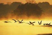Black Skimmer in flight. Pantanal Brazil