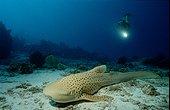 Requin-léopard Sipadan Malaisie