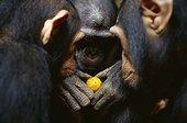 Chimpanzees looking at a fruit Gabon ; Bakoumba