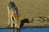 Chacal à chabraque buvant au point d'eau Kalahari RSA ; Point d'eau artficiel