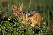 Jeune chacal à chabraque derrière un buisson Kalahari RSA