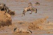 Gnous bleus sautant dans la rivière Mara Kenya